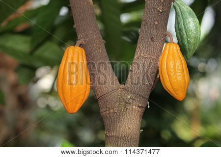 Cocoa cocao tree with theobroma pods