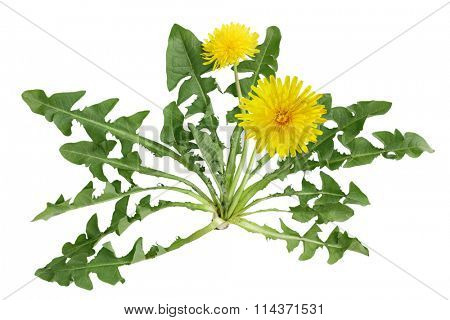 Dandelion plant with flower isolated on white background