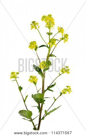 Common Winter Cress (Yellow Rocket) Barbarea vulgaris flower plant
