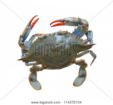 Blue sea crab isolated on white background