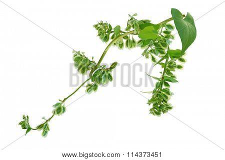Fallopia scandens (Climbing False Buckwheat) wild flower with fruit