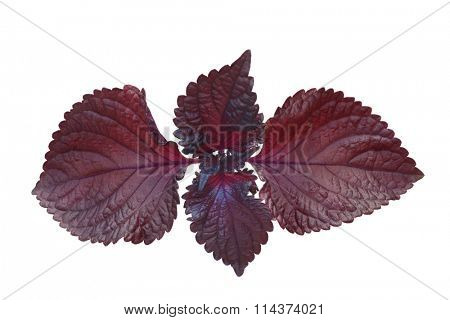 Red perilla mint isolated on white background