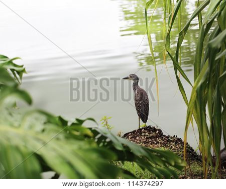 Juvenile Black-crowned Night Heron, Nycticorax nycticorax standing alone by the lake