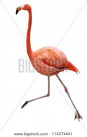 Single red flamingo bird isolated on white background