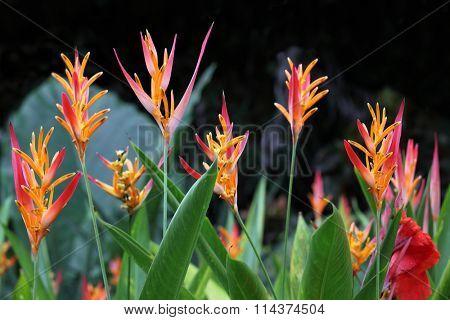 Heliconia Psittacorum flower Plant in Florida Summer time