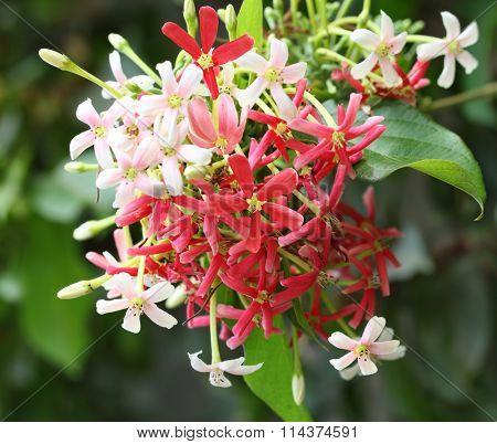 Quisqualis Indica flower plant , Chinese honeysuckle, Rangoon Creeper, Combretum indicum