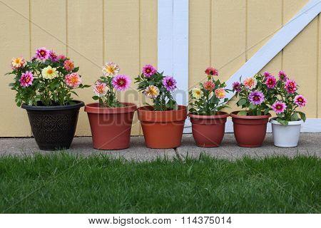 Dahlia flower planter row for natural background