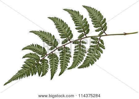 Athyrium niponicum Metallicum Fern isolated on white background
