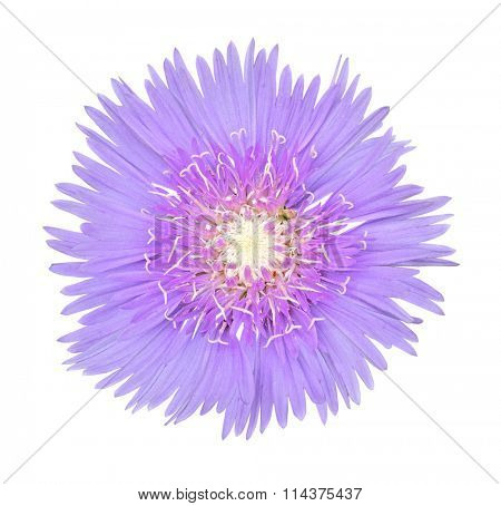 Stoke Aster flower head isolated on white background