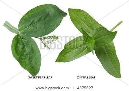 Sweet Peas and Zinnias Leaf isolated on white background
