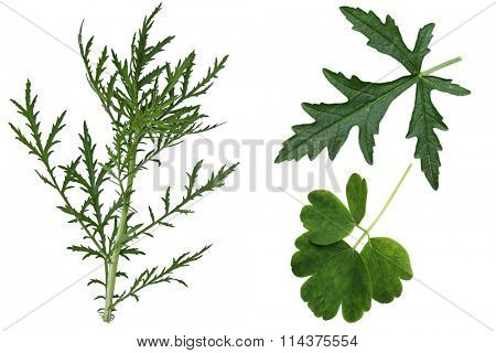 Set of  Musk Mallow Malva moschata, wild,  leaves isolated on white background
