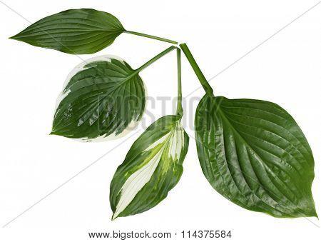 Set of 4 kinds of hosta leaf isolated on white background