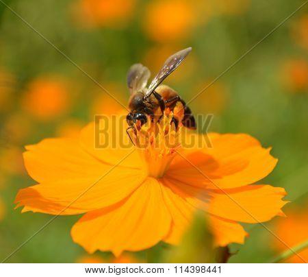 Honey Bee On Yellow Flower