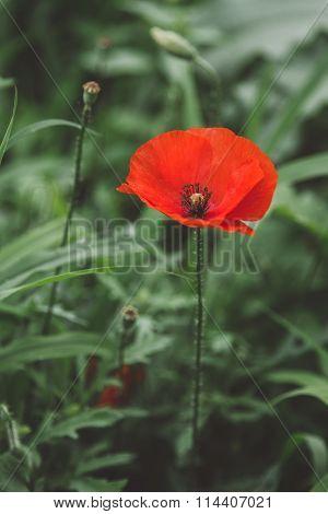 Perfect Poppie Flower