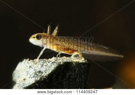 Common Newt Tadpole