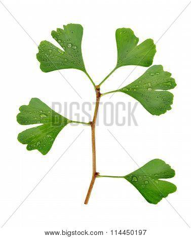 ginkgo biloba leaf with dew drops