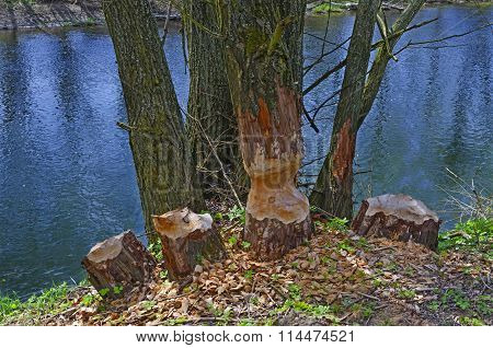 Trees Gnawed By Beavers