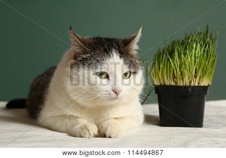 homemade cat repellent for grass