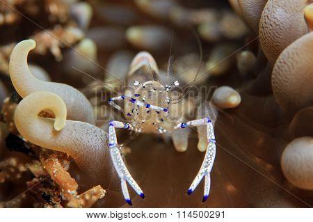 Beautiful Cleaner Shrimp