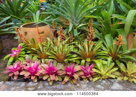 Urn Plant with multicolored leaves in Thailand