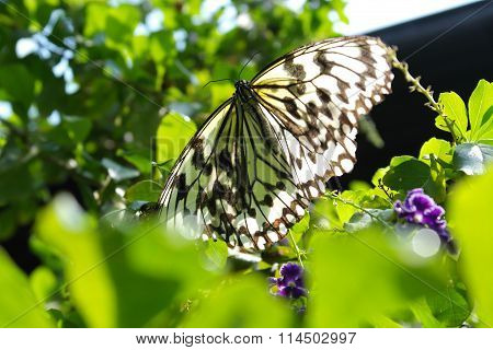 Beautiful Butterfly - Idea Leuconoe Clara