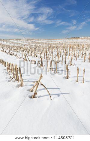Winter Landscape of Corn Stalks in Snow