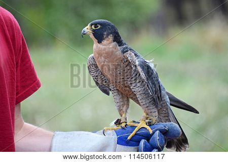 American kestrel perched on gloved hand