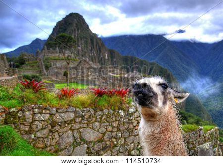 HDR image: A white lama staring at the background of Machu Picchu Peru UNESCO World Heritage Site.