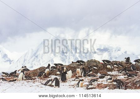 Ronge Island Penguin Rookery, Antarctica