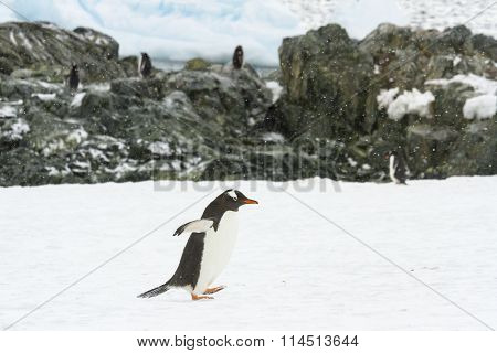 Waddling Gentoo Penguin At Rookery