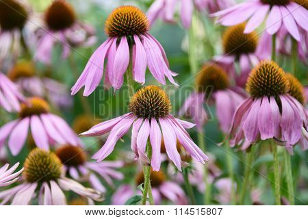 Field of Echinacea purpurea, eastern purple coneflower or purple coneflower