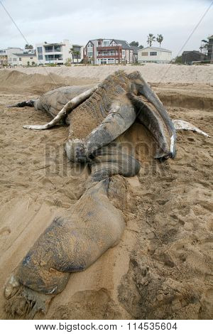 Close up view of a Dead Humpback Whales Mouth and Tongue that washed upon the shore in Sunset Beach California. .