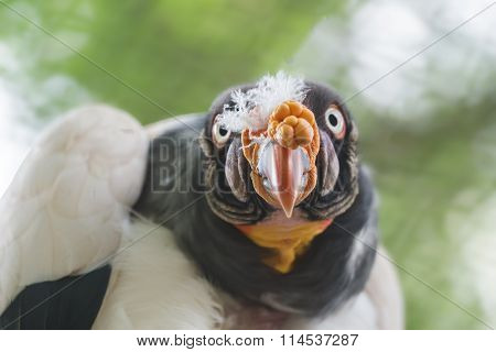 Head and shoulders portrait of American king vulture or Sarcoramphus papa staring at camera