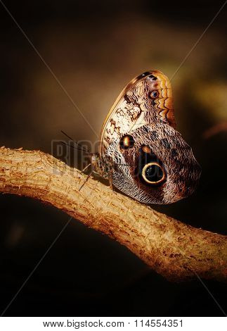 Close up of beautiful Owl butterfly with hugh eyespots poster