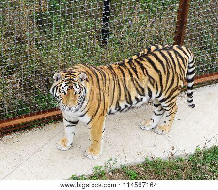 top view tiger closeup