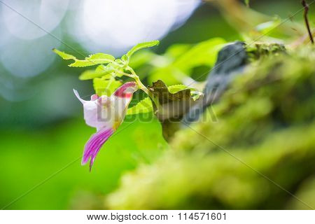 Parrot Flower Located On Chiangdao Limestone Mountain