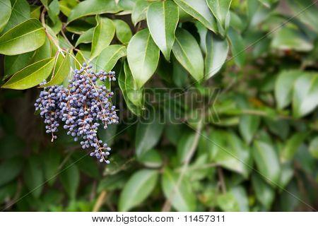 Privet Berries Bush