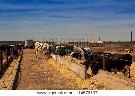 Black-white Milch Cows Eat Hay Behind Barrier Of Farm