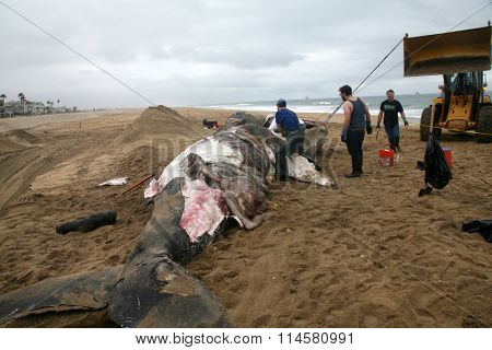 1-15-2016 Sunset Beach California: Close up view of a Dead Humpback Whale that washed upon the shore in Sunset Beach California.  Research Scientist dissect and take samples to determine its death.