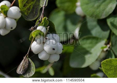 Snowberry albus shrub in park