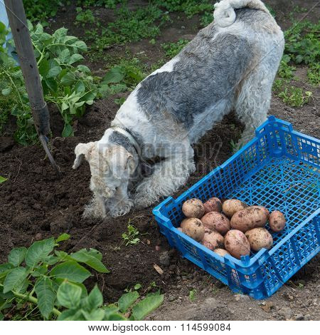 Box With Potatoes And A Fox Terrier