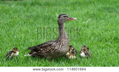 Mallard Mother Duck with babies on grass
