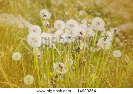 Dandelion blowball in spring.