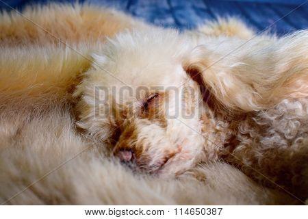 Little Sleeping Poodle