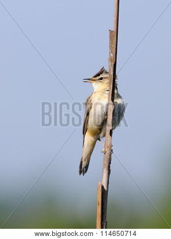 Song Of Perching Sedge Warbler