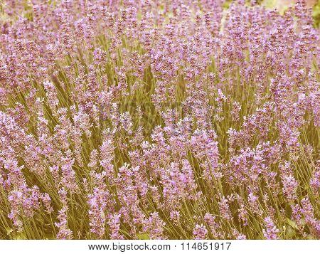 Retro Looking Lavender Flowers