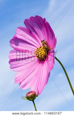 Bee Pollination In Pink Cosmos Flower.