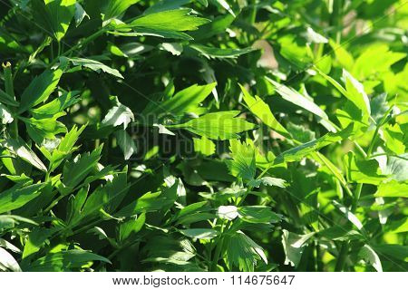 Lovage Plant Background