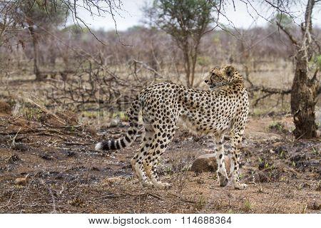 Cheetah In Kruger National Park