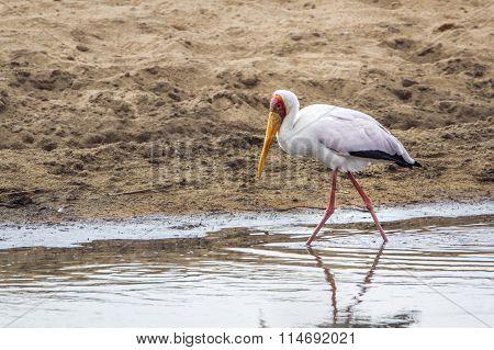 Yellow-billed Stork In Kruger National Park